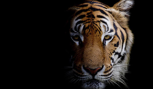 Tiger in pitch black background